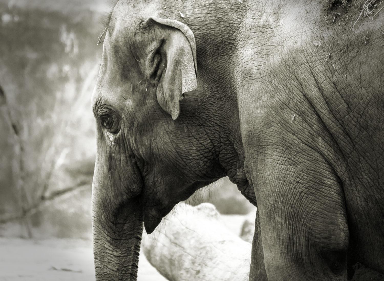 Elefant |Kölner Zoo